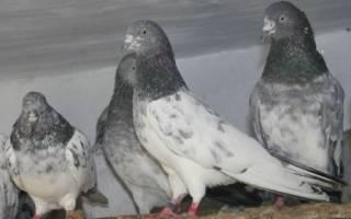 Высоколётные породы голубей: индопакистанские голуби
