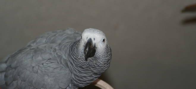Как учить говорить волнистых попугаев: пособие для начинающих