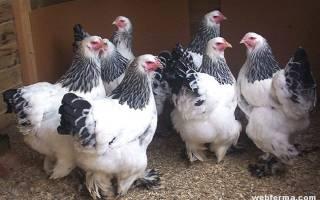 Цыплята породы брама: содержание, особенности