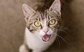 Как понять что говорит кот
