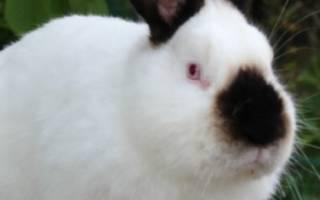 Белые кролики: породы, разновидности