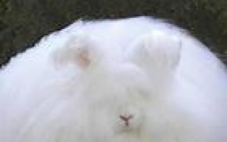 Пуховые породы кроликов: ангорский пуховый кролик