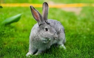 Шиншилловый кролик: описание, стоимость
