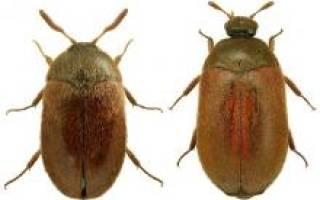 Кожеед в квартире: от куда берутся эти жуки