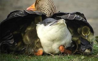Выведение гусей в домашних условиях: что нужно знать птицеводу