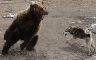 Какую собаку выбрать для охоты на медведя