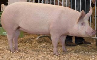 Русские свиньи: русская белая порода свиней