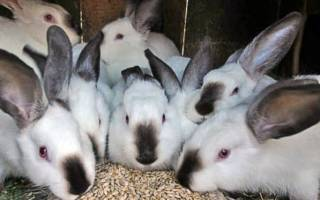 Овес – корм для кроликов