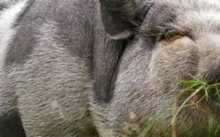 Миргородская свинья: характеристики породы