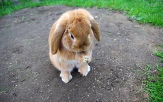 Что делать, если у кролика слезятся глаза