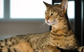 Происхождение кошка ашера