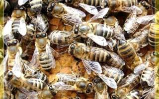 Карпатские пчелы: описание и особености поведения