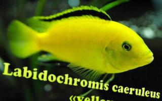 Лабидохромис церулиус желтый