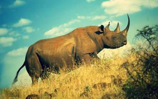 Нормальный вес носорога