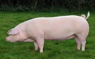 Ландрас – порода свиней: основные характеристики