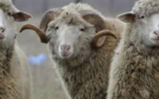 Чем выгодно разводить цигайскую породу овец