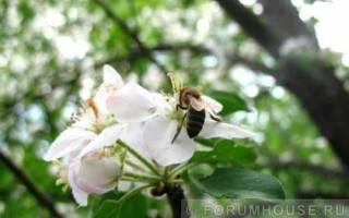 Пчелы на даче: как завести пчел на даче