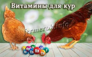 Как выбрать витамины для цыплят