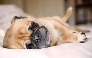 Как вылечить собаку от глистов