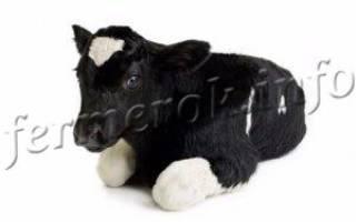 Новорожденные телята: лечение поноса у телят