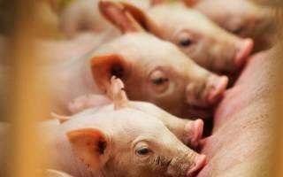 Молоко свиньи: что делать, если у свиньи нет молока