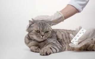 Симптомы остеохондродисплазии у шотландских вислоухих кошек