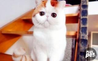 Экзотическая короткошерстная кошка: характер, привычки