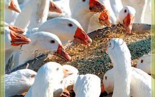 Трава для гусей: чем можно кормить гусей