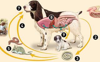 Как давать собаке глистогонное: схема лечения и маленькие хитрости