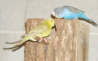 Для чего нужно гнездо для волнистого попугая и как его сделать
