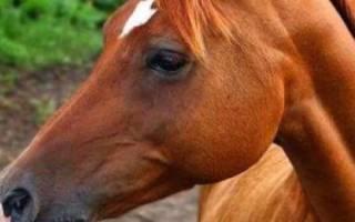 Арабская лошадь: характеристика породы