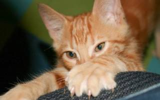 Разбираемся, нужно ли стричь когти кошке