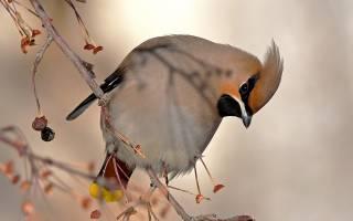 Как выглядит перелетная птица свиристель