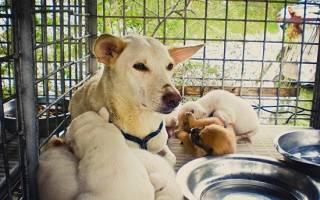 Питание кормящей собаки