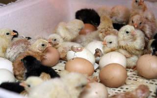 Рождение цыпленка в инкубаторе: порядок действий