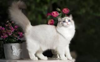 Порода кошек рэгдолл: описание и окрасы