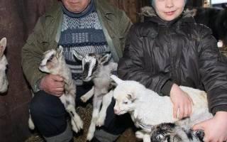 Домашние козы: находка для домашнего хозяйства