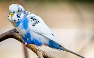 Когда попугаи начинают говорить и как ускорить этот процесс