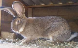 Кролики фландр: содержание и кормление