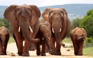 Самые интересные факты о слонах