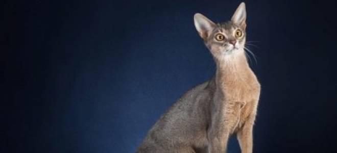 Абиссинская кошка: окрас голубой
