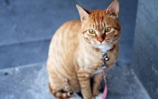 Признаки болезни печени у кошек