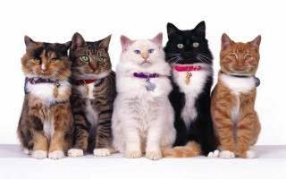Дымчатый окрас кошки