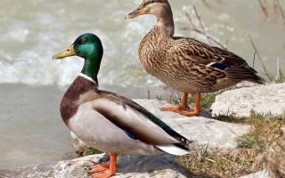 Чем питаются утки: полезная информация