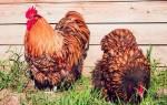 Цыплята породы орпингтон: выращивание, уход