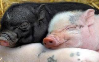 Крупные породы свиней: выбор для разведения
