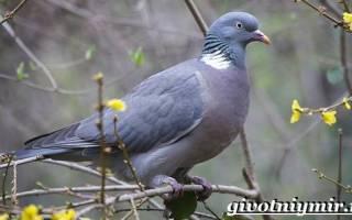 Лесные голуби: вяхирь
