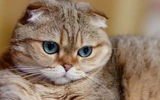 Кошки скоттиш фолд: описние породы