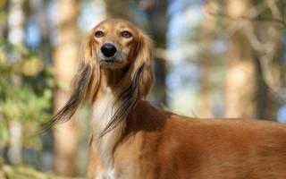 Порода собак салюки
