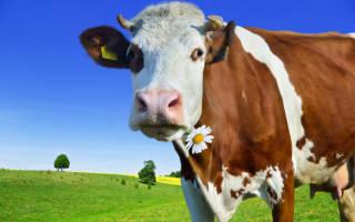 Сглаз коровы: как уберечь корову от сглаза